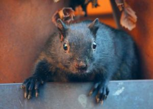 black_squirrel
