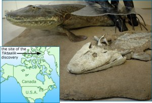 tiktaalik, a transitional fossil